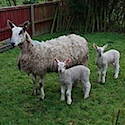 Sheep - BFL