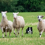 Crook and whistle: a peek inside a sheep dog trial