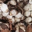 Cotton preparation