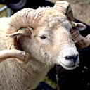 Wool Exploration: Dorset breeds