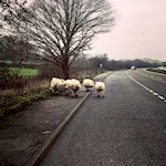 Armed officers help remove sheep from road in Derbyshire