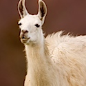 Farmers could be offered free llamas