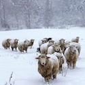 Ewes in beautiful snowstorm