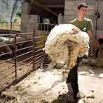 Wool lovers battle animal-rights crowd over sheep shearing